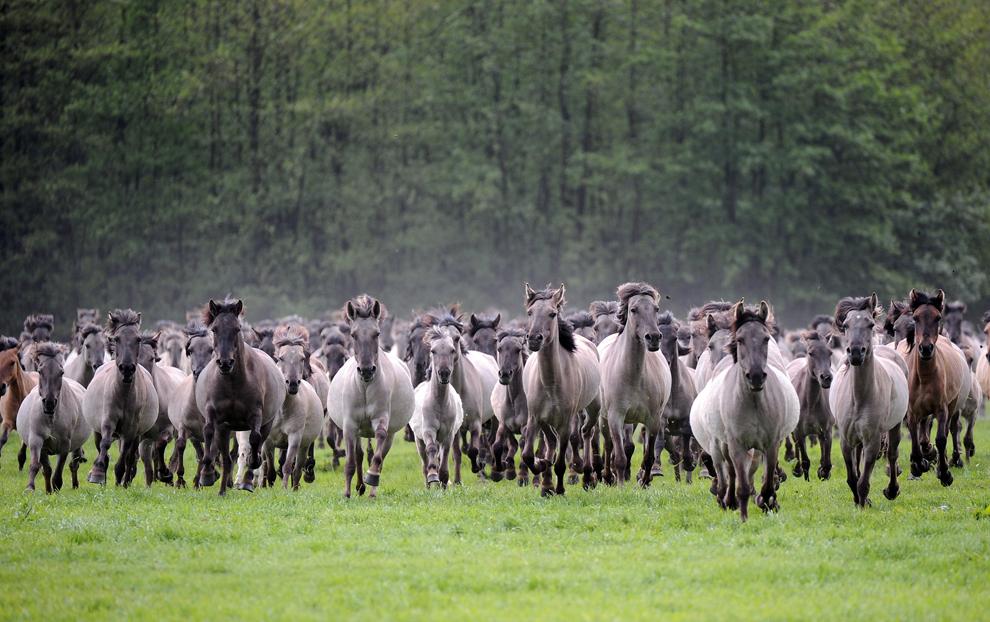 """Cai sălbatici din rasa """"Duelmener Wildpferde""""  aleargă  în timpul """"zilei de prins cai sălbatici"""", organizată la Merfelder Bruch, în apropiere de Duelmen, Germania, sâmbătă, 25 mai 2013."""