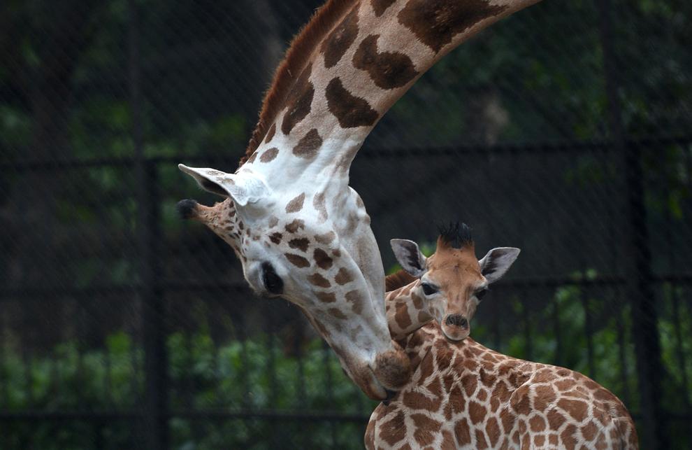 """O girafă îşi curaţă puiul în vârstă de 20 de zile, la grădina zoologică """"Alipore"""" din Calcutta, India, luni, 10 iunie 2013."""