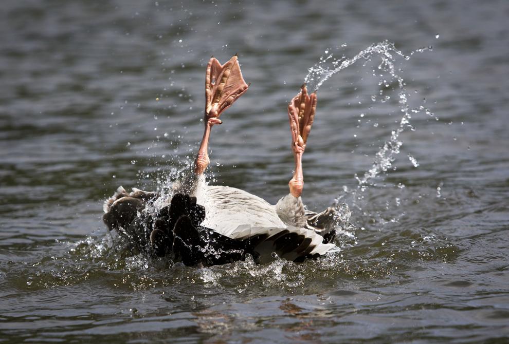 O gâscă se scufundă în lacul din parcul de est al orşului Frankfurt, Germania, duminică, 16 iunie 2013.
