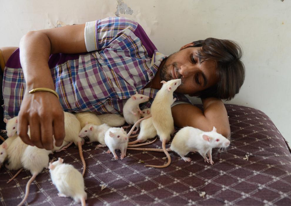 Propietarul unui magazin, indianul Sonu Sharma, în vârstă de 26 de ani, se joacă cu mai mulţi şobolani, la reşedinţa sa din Ahmedabad, India, duminică, 16 iunie 2013.