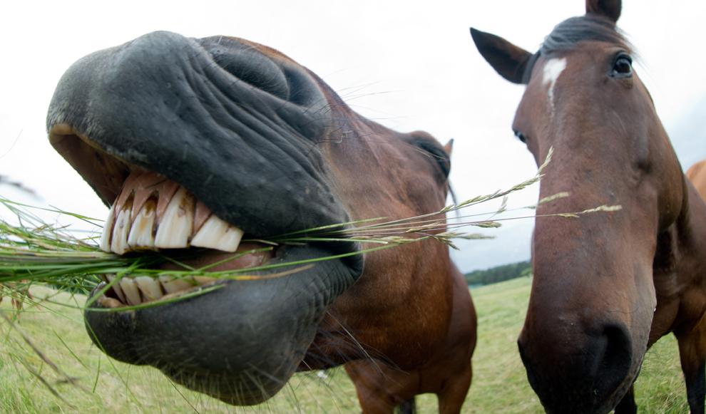 Un cal este hrănit cu iarbă, în tip ce altul priveşte,  într-un padoc de lângă Schwarmstedt, Germania, marţi, 25 iunie 2013.