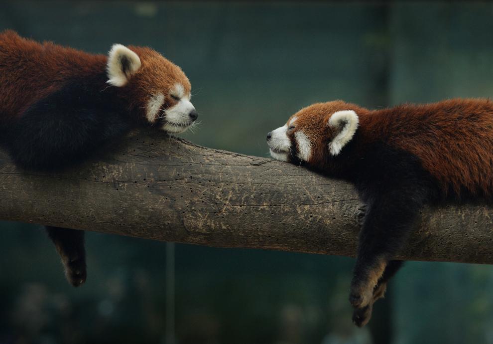 Doi urşi panda roşii (Ailurus fulgens)  se relaxează într-un ţarc din grădina zoologică din Beijing, China, luni, 24 iunie 2013.