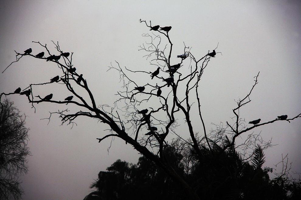Porumbei stau într-un copac, în oraşul Kuweit, sâmbătă, 1 iunie 2013.