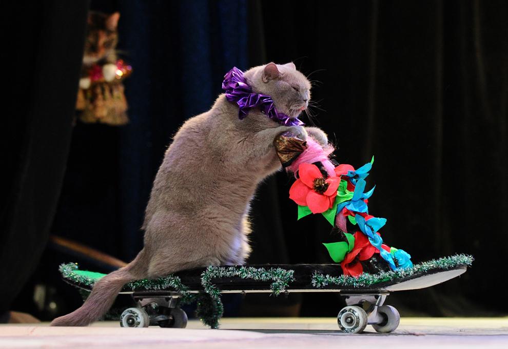 O pisică evoluează într-un spectacol desfăşurat la Teatrul de pisici din Moscova,  Rusia, vineri, 3 mai 2013.