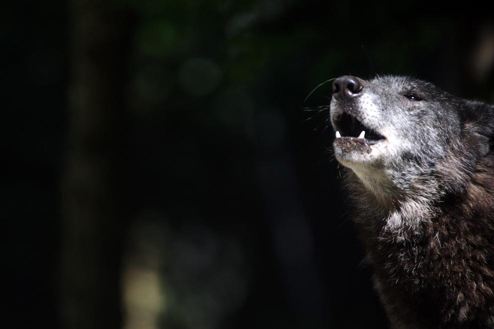 Un lup poate fi văzut la grădina zoologică din Mulhouse, Franţa,  joi, 13 iunie 2013.