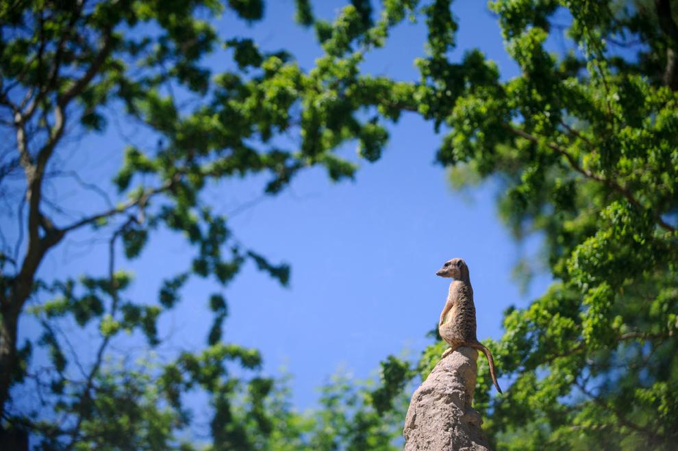 O suricată (Suricata suricatta ) poate fi văzută la grădina zoologică din Mulhouse, Franţa,  joi, 13 iunie 2013.
