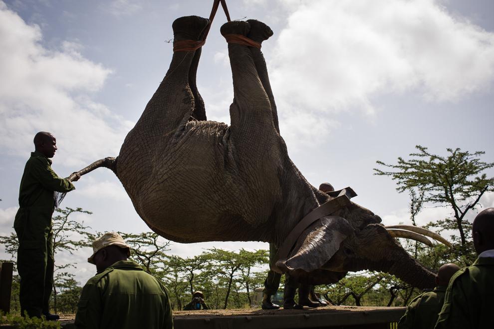 Un elefant este coborât pe o platformă după ce a fost sedat, în rezervaţia naturală Ol Pejeta din Kenia,  vineri, 21 iunie 2013.