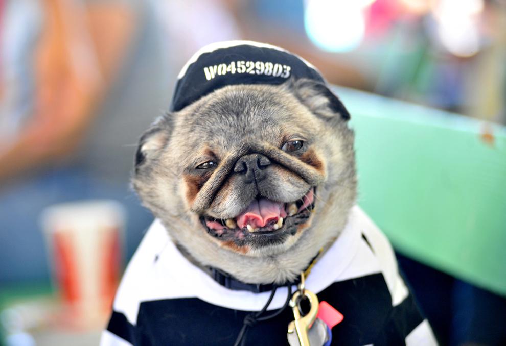 """Grovie, un câine din rasa Pug, priveşte în timpul concursului """"Cel mai urât câine din lume"""", aflat la cea de-a 25 ediţie, în Petaluma, California, vineri, 21 iunie 2013."""