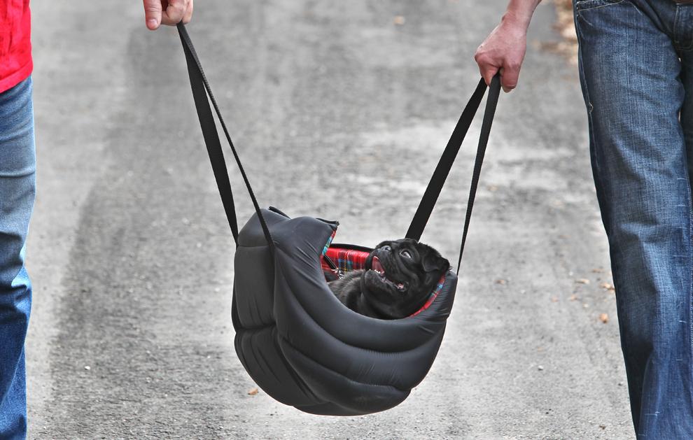 Un câine din rasa pug este transportat într-o plasă, aproape de Hohenschwangau, în sudul Germaniei,  miercuri, 1 mai 2013.