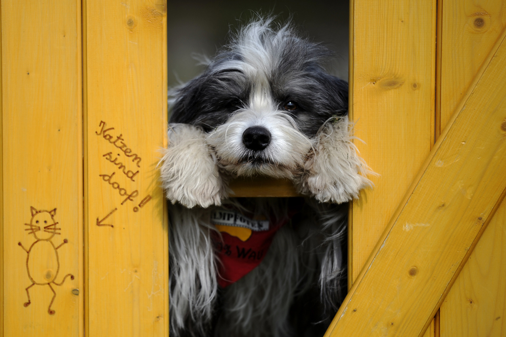 """Câinele Tom Tom pozează în timpul unei conferinţe de presă organizate înaintea Târgului pentru """"câini şi animale de companie"""", în Dortmund, Germania,  vineri,  3 mai 2013."""