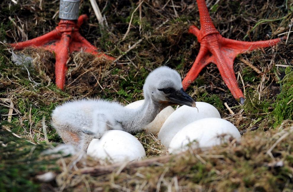 Un pui de barză stă înconjurat de ouă, într-un cuib dintr-un parc de animale din Eekholt, Germania,  luni, 8 iunie 2013.