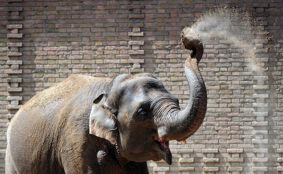 Un elefant îşi aruncă cu nisip pe spate, în grădina zoologică din Berlin, miercuri, 24 iulie 2013.
