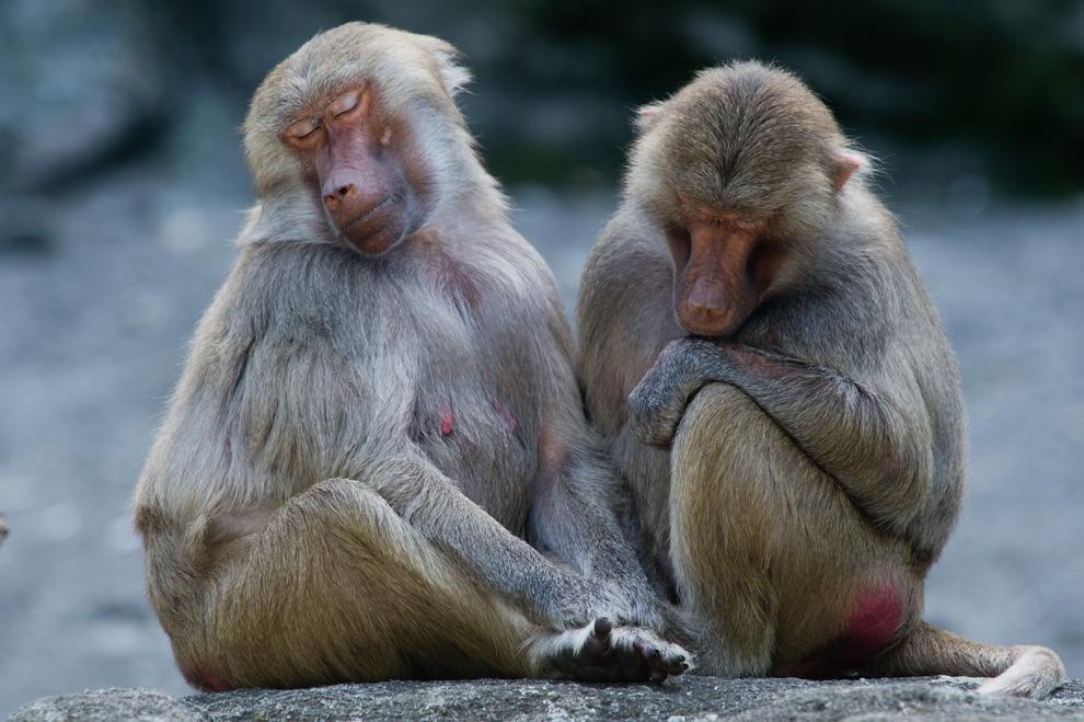Doi babuini moţăie în ţarcul maimuţelor din grădina zoologica Tierpark Hellabrunn din Munchen, Germania, duminică, 4 august 2013.