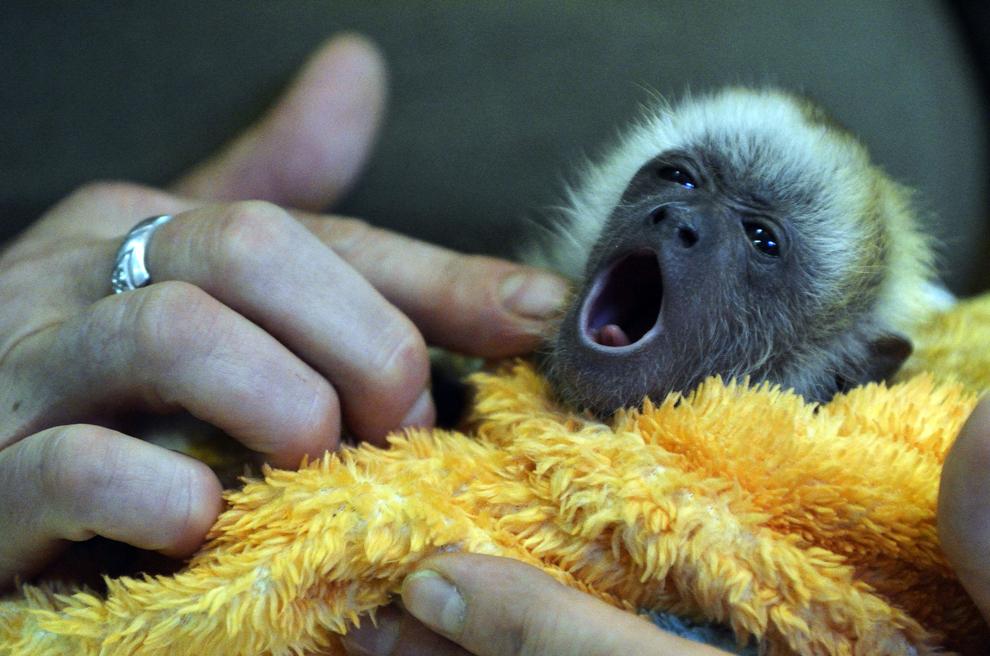 Un angajat al grădinii zoologice din Szeged, Ungaria prezintă un pui de maimuţă urlătoare, miercuri, 14 august 2013.
