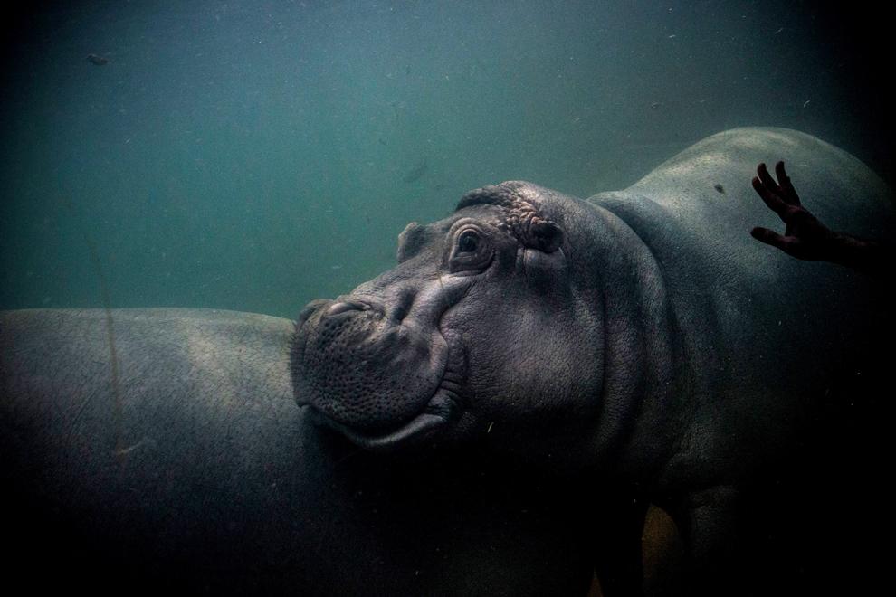 Un bărbat atinge geamul unui acvariu, unde înoată un hipopotam, la Acvariul Adventure din Camden, New Jersey, marţi, 20 august 2013.