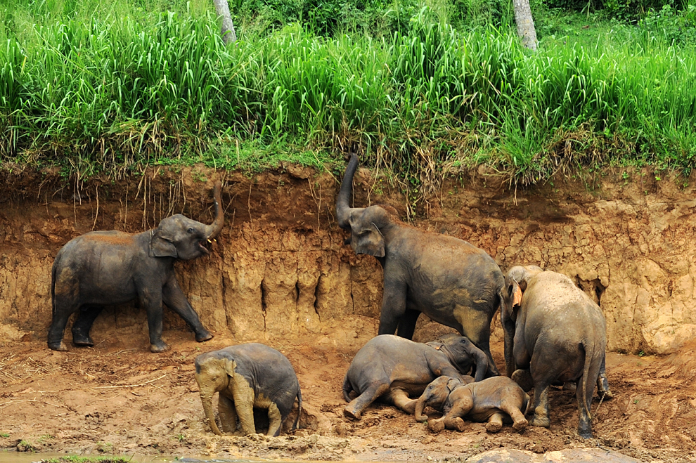 O turmă de elefanţi de la Orfelinatul Pinnawela pentru elefanţi, poate fi văzută în satul Pinnawela din Sri Lanka, miercuri, 24 iulie 2013.
