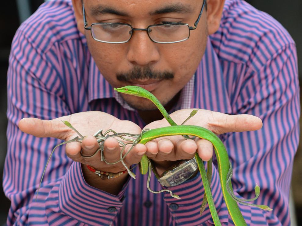 Harmesh Bhatt  ţine în mâini o pereche de şerpi alături de puii lor, într-un adăpost din satul Hathijan, India, joi, 29 august 2013.