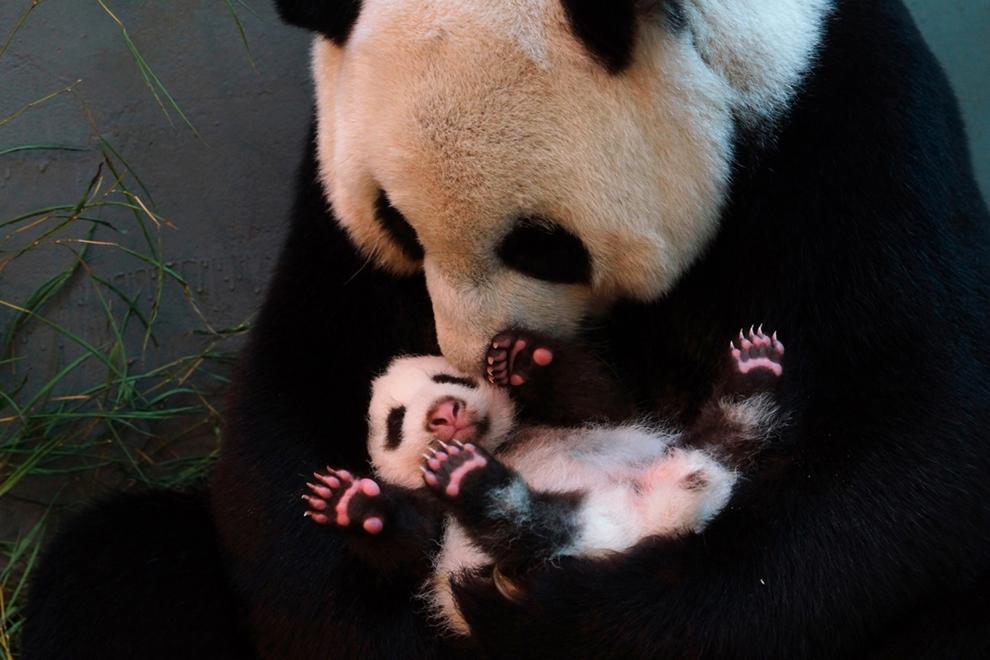 Yuan Yuan, un panda uriaş, îşi ţine în braţe puiul, la grădina zoologica din Taipei, Taiwan, luni, 26 august 2013.