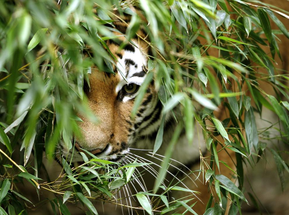 Un tigru siberian poate fi văzut prîntre frunzele unui bambus, la grădina zoologica din Duisburg, vestul Germaniei, marţi, 2 iulie 2013.