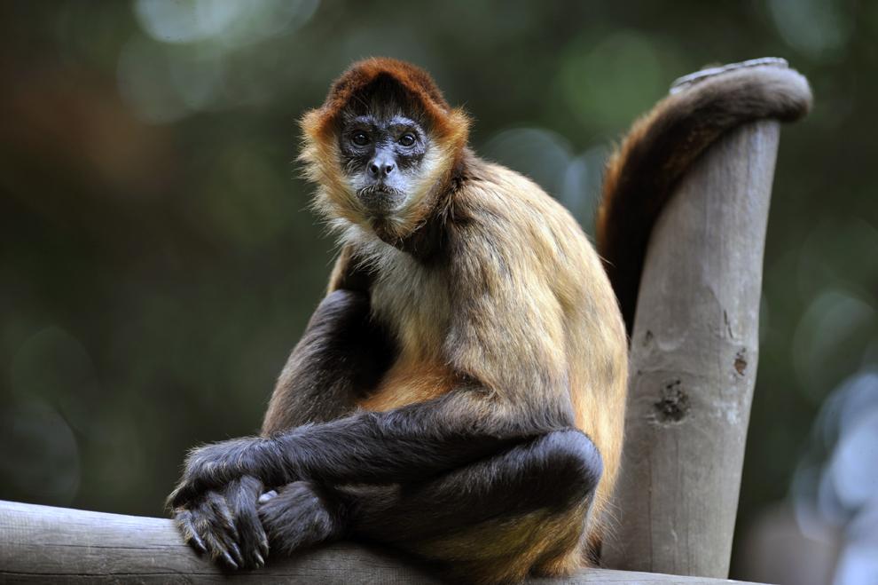 O maimuta paianjen (Simia paniscus) stă în cuşca sa din grădina zoologica Simon Bolivar, în San Jose, Costa Rica, duminică, 28 iulie 2013.