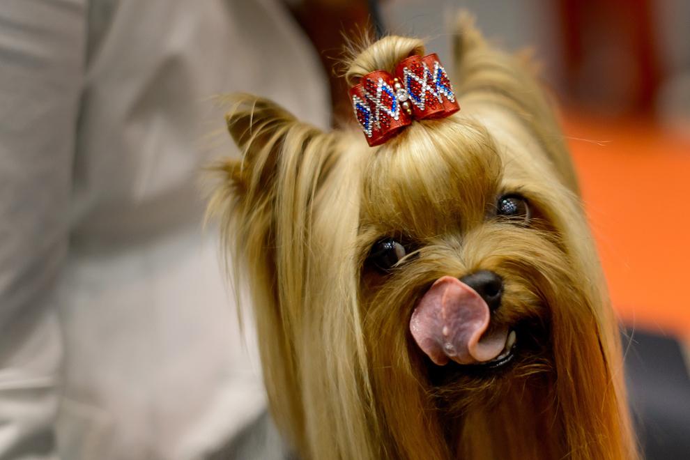 Un câine aşteaptă începerea spectacolului canin european, unde se va premia cel mai frumos câine din Europa, în Geneva, vineri, 30 august 2013.