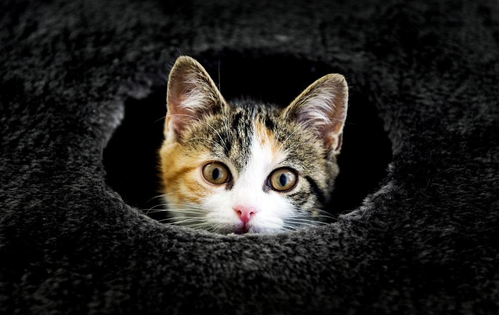 """O pisică poate fi văzută în refugiul pentru pisici """"Stichts Asyl"""" din Utrech, Olanda,  miercuri, 24 iulie 2013."""