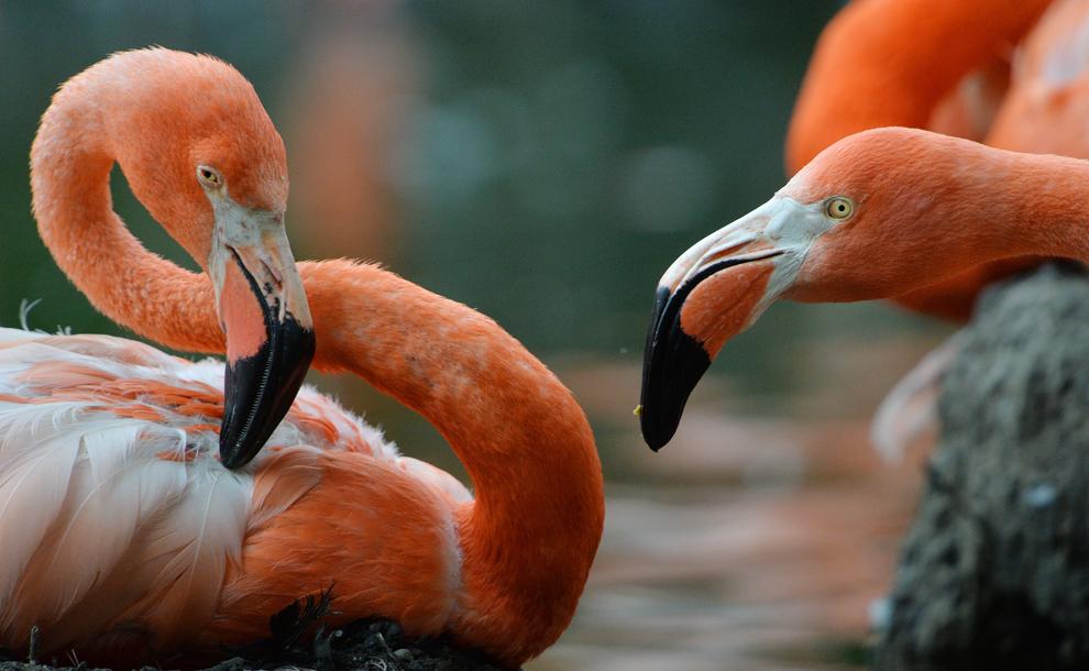 Păsări flamingo pot fi văzute într-un ţarc special amenajat al grădinii zoologice din Dresda, Germania, miercuri, 3 iulie 2013.