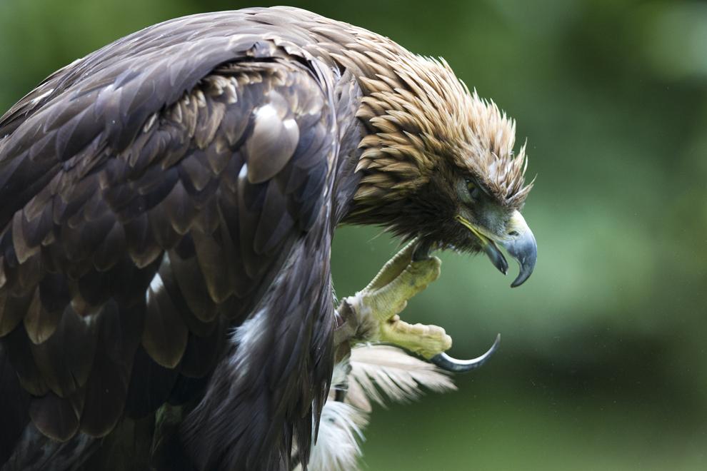 Un vultur auriu stă în pădurea Rambouillet din Franţa, miercuri, 31 iulie 2013.