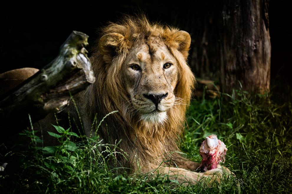 Un leu priveşte către cameră, la grădina zoologica Dvur Kralove din Cehia, vineri, 9 august 2013.