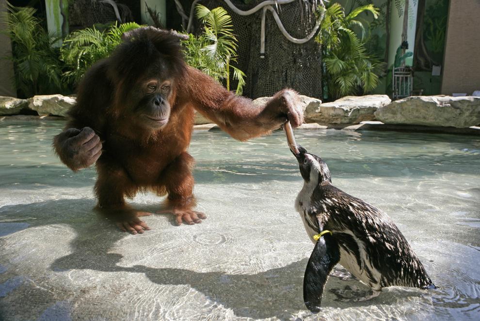 """Urangutanul Suriya hrăneşte un pinguin în parcul """" Myrtle Beach Safari"""" din Carolina de Sud, Statele Unite ale Americii, august 2013."""