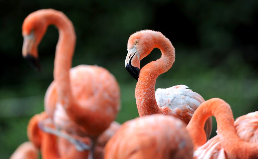 Păsări flamingo ce îşi curăţă penele pot fi văzute la grădina zoologica din Dresda, Germania, luni, 15 iulie 2013.
