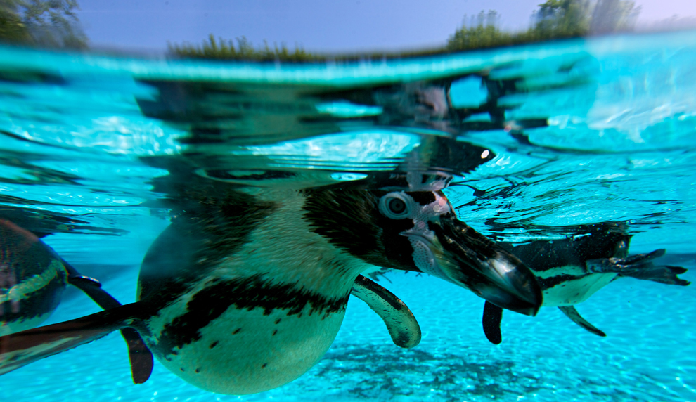 Pinguini înoată în ţarcul special amenajat din grădina zoologica din Londra, miercuri, 17 iulie 2013.