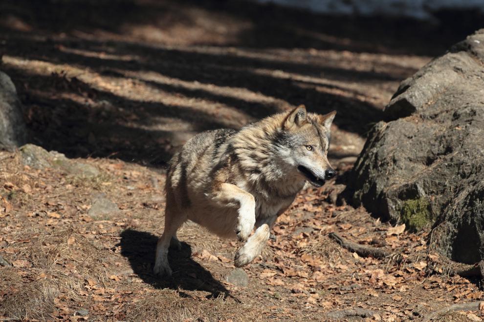 Un lup aleargă într-o pădure din Munţii Maramureşului, sâmbătă, 3 martie 2012.