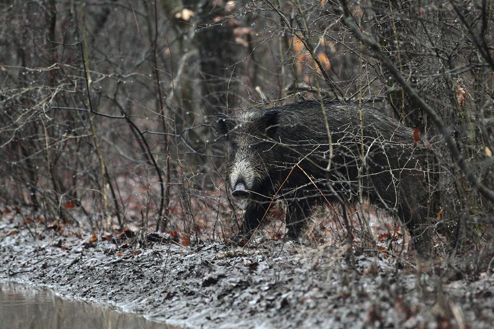 Un mistreţ merge printr-o pădure din Parcul Natural Comana, duminică, 16 ianuarie 2011.