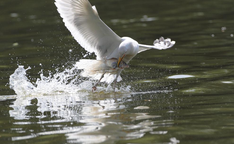 Un pescăruş argintiu prinde un peşte dintr-un lac, duminică, 6  iunie 2010.