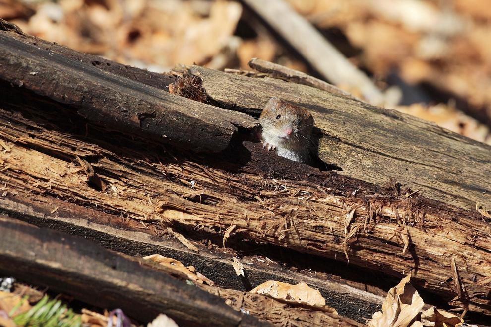 Un şoarece de pădure iese dintr-o buturugă, marţi, 3 martie 2009.