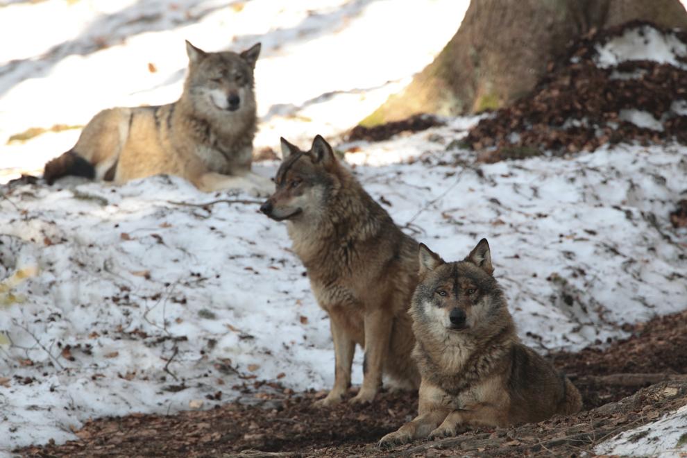 O haită de lupi stă într-o pădure din Munţii Maramureşului, sâmbătă, 3 martie 2012.