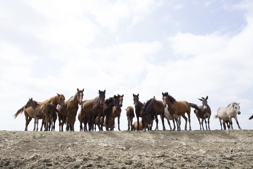 Mai mulţi cai sălbatici stau pe marginea unui canal, în rezervaţia Biosferei Delta Dunării, joi, 1 august 2013.