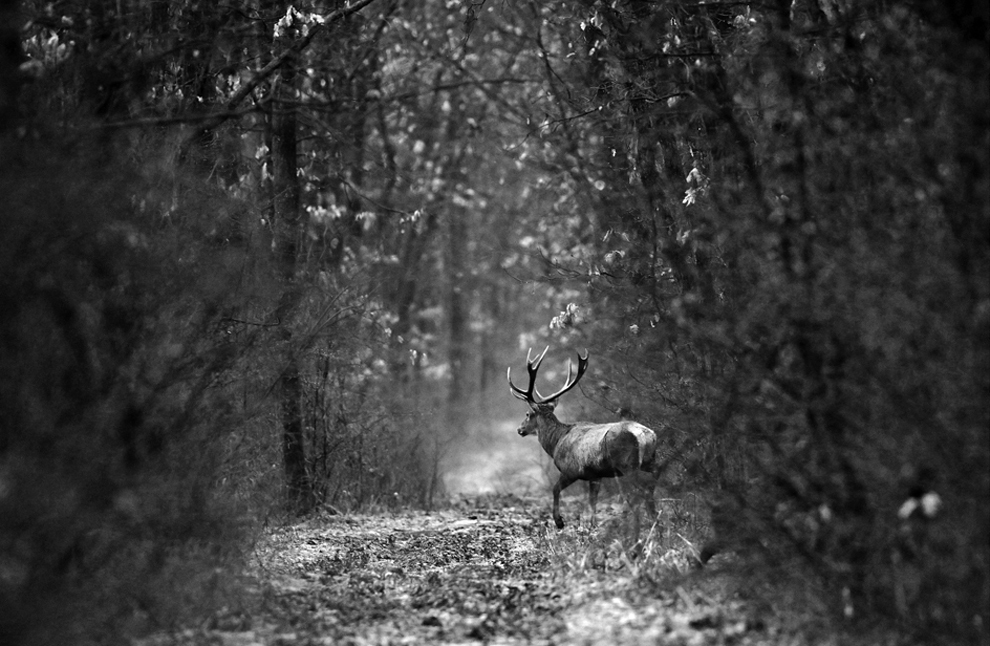 Un cerb comun merge printr-o pădure din Parcul Natural Comana, duminică, 16 ianuarie 2011.