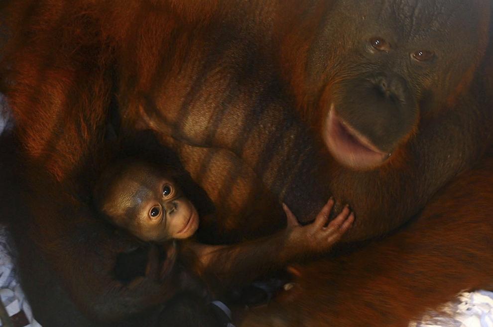 Dana, un mascul de urangutan, în vârstă de 10 zile, este ţinut în braţe de mama sa, Dina, la grădina zoologică Taman Safari Indonesia Zoo, în orasul Pasuran, insula Java, Indonezia, luni, 24 februarie 2014.