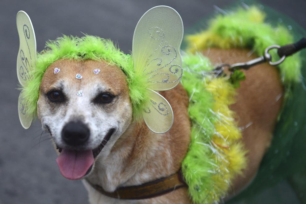 """Un câine participă la parada - carnaval """"Blocao"""" în Copacabana, Rio de Janeiro, Brazilia, duminică, 16 februarie 2014."""