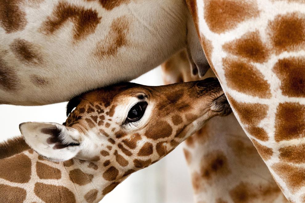 """Un pui nou născut de girafă stă lângă mama sa """"Iwana"""",  în grădina zoologică Artis Zoo din Amsterdam, Olanda, duminică, 2 martie  2014."""