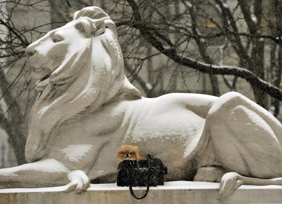 Un căţel aflat într-o poşeta este aşezat de stăpâna sa (nu este in imagine) lângă un leu sculptat de la Biblioteca Publica din New York, marţi, 21 ianuarie 2014.