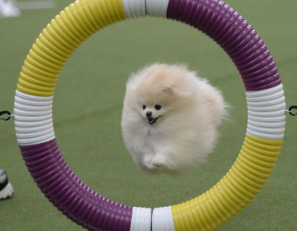 Un câine din rasa Pomeranian, concurează în cursa de agilitate din cadrul competiţiei Westminster Kennel Club Dog Show, în New York, vineri, 7 februarie 2014.
