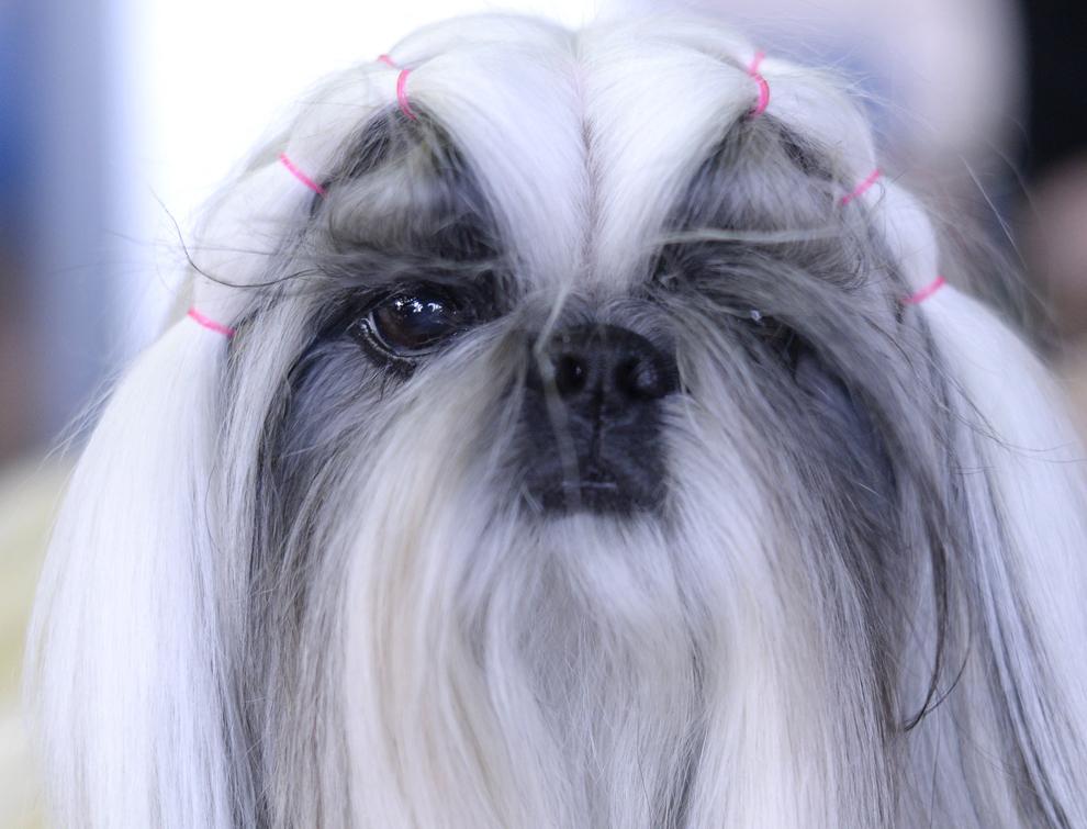 Un câine din rasa Shih Tzu aşteaptă sa fie jurizat în prima zi a competiţiei Westminster Kennel Club Dog Show, în New York, luni, 10 februarie 2014.