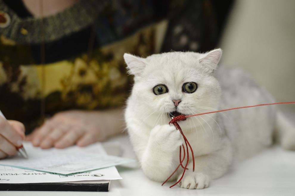 """O pisică din rasa British Shorthair se joacă, în prima zi a expoziţiei """"International Spring Cat Show - """"Mărţişorul Pisicilor"""", în Bucureşti, sâmbătă, 8 martie 2014."""