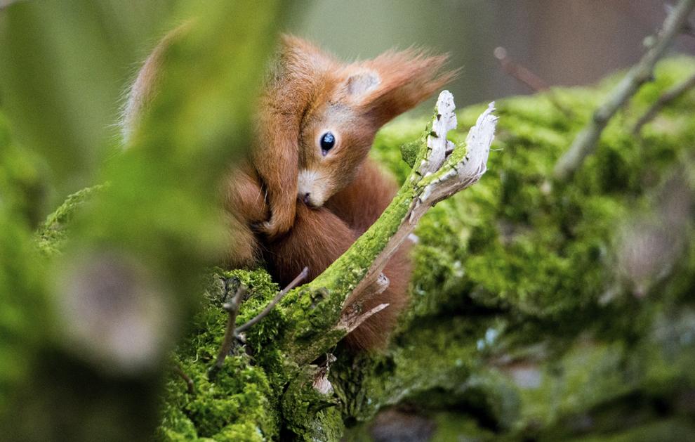 O veveriţă se ascunde într-un copac, în Hanovra, Germania, miercuri, 19 februarie 2014.