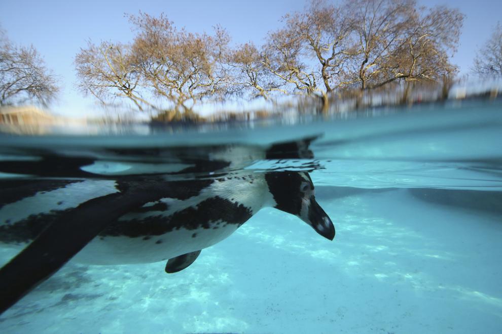 Un pinguin înoată în piscina pinguinilor din grădina zoologică ZSL Londra, în Londra, Anglia, joi, 2 ianuarie 2014.