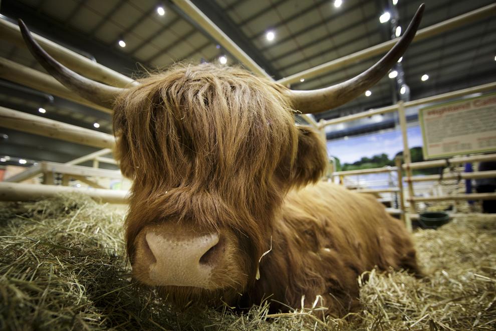 O vacă stă în ţarcul său în timpul târgului internaţional agricol Gruene Woche, în Berlin, Germania, duminică, 19 ianuarie 2014.
