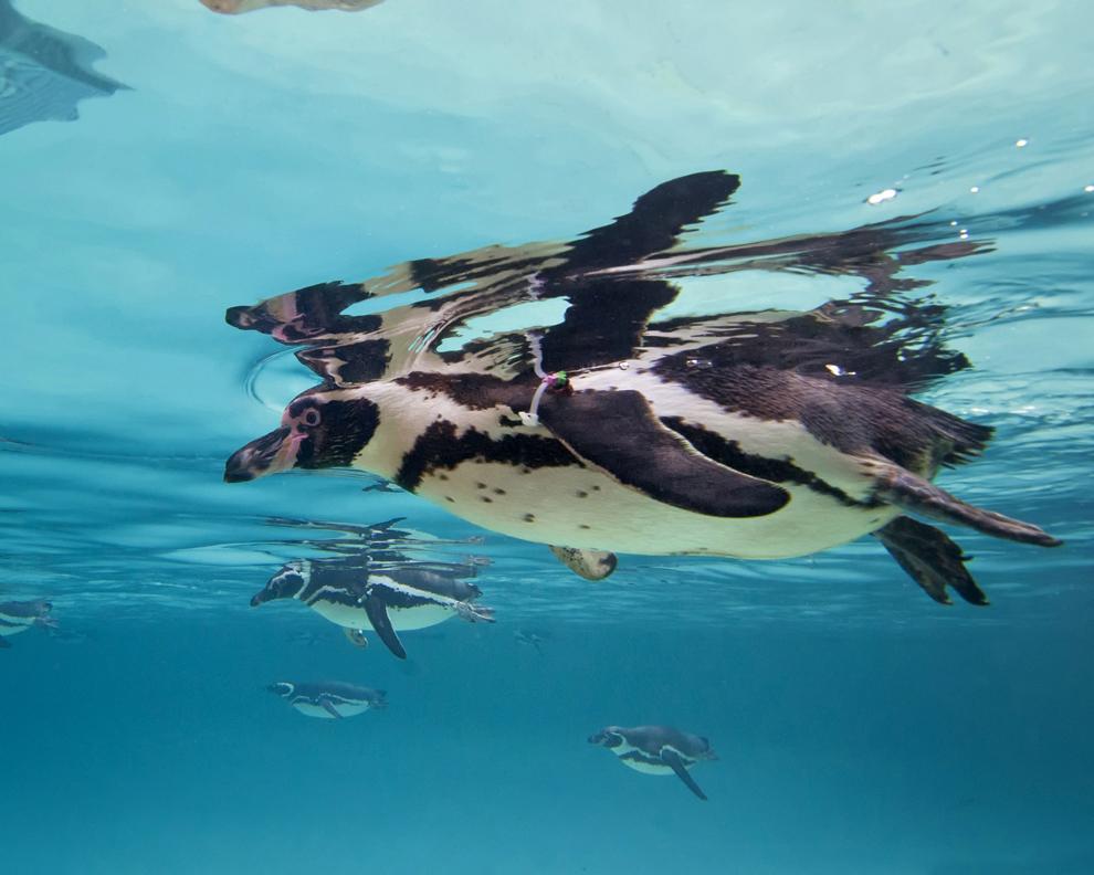 Pinguini din speciile Humboldt şi Magellanic înoată unu lângă altul în San Diego SeaWorld, San Diego, California, joi, 13 martie  2014.